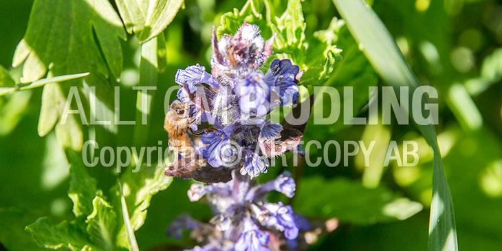 Biväxter - Revsuga (Ajuga reptans)
