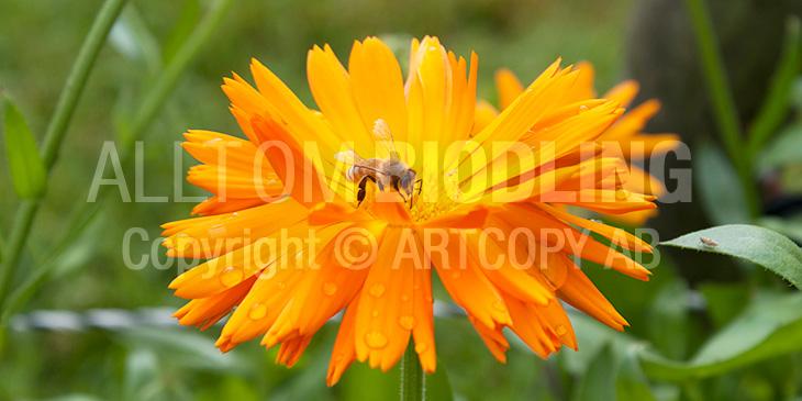 Biväxter - Ringblomma (Calendula officinalis)