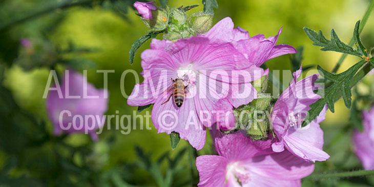 Biväxter - Rosenmalva (Malva alcea)