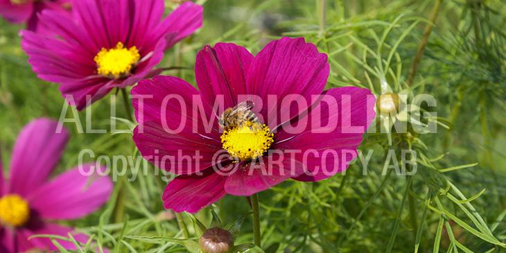 Biväxter - Rosenskära (Cosmos bipinnatus)