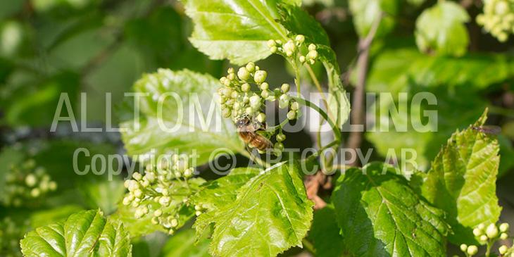 Biväxter - Rysk lönn (Acer tataricum)