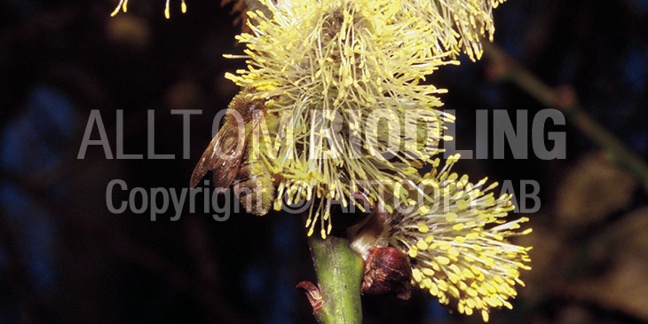 Biväxter - Sälg (Salix caprea)