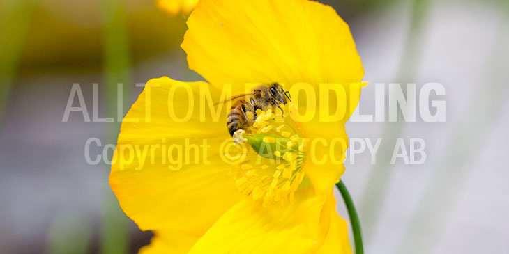 Biväxter - Sibirisk vallmo (Papaver croceum)