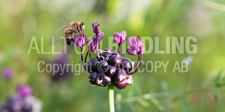 Biväxter - Skogslök (Allium scorodoprasum)