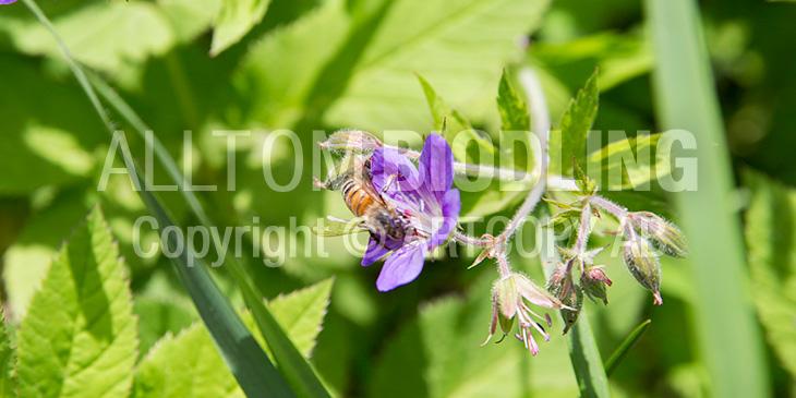 Biväxter - Skogsnäva / Midsommarblomster (Geranium sylvaticum)