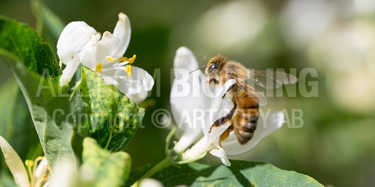 Biväxter - Skogstry (Lonicera xylosteum)