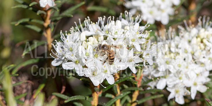 Biväxter - Skvattram (Rhododendron tomentosum)