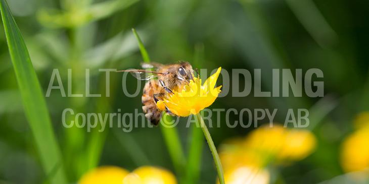 Biväxter - Smörblomma (Ranunculus acris)