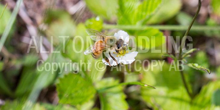 Biväxter - Smultron (Fragaria vesca)