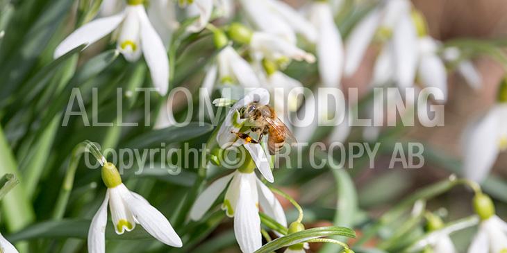 Biväxter - Snödroppe (Galanthus nivalis)