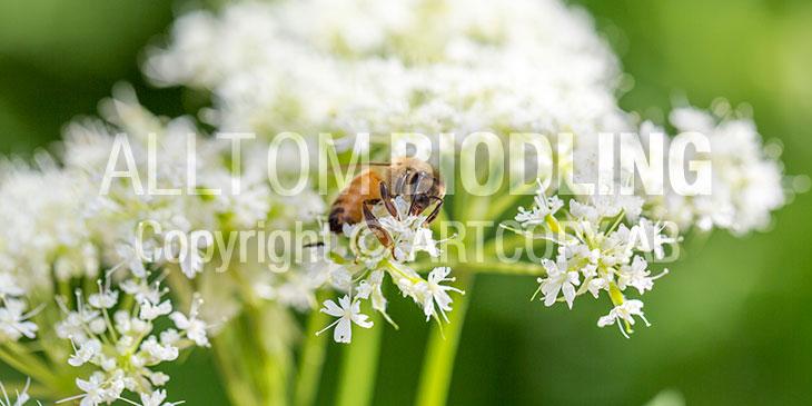 Biväxter - Spansk körvel (Myrrhis odorata)