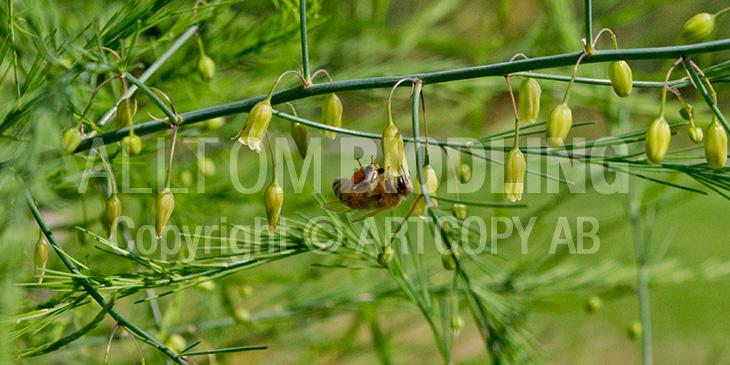 Biväxter - Sparris (Asparagus officinalis)