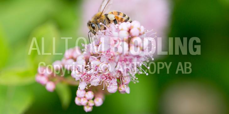 Biväxter - Spirea (Spiraea spp.)