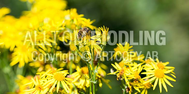 Biväxter - Stånds (Senecio jacobaea)