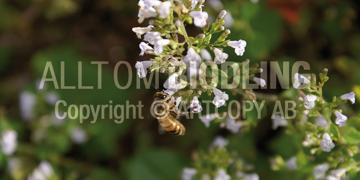 Biväxter - Stenkyndel (Calamintha nepeta)