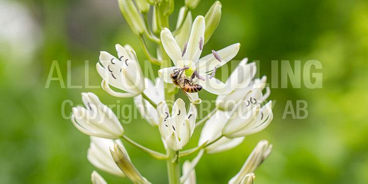 Biväxter - Stjärnhyacint (Camassia)