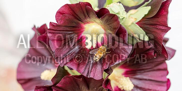 Biväxter - Stockros (Alcea rosea)