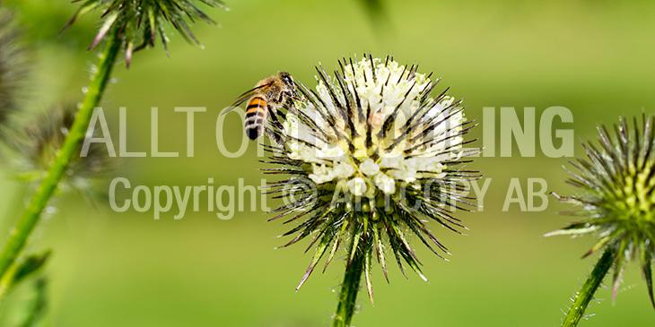 Biväxter - Sträv kardvädd (Dipsacus strigosus)