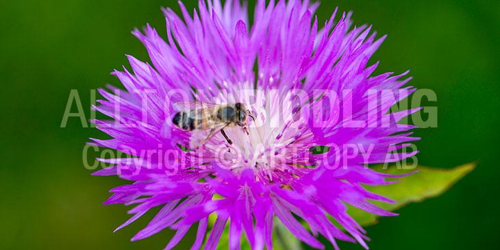 Biväxter - Strävklint (Centaurea dealbata)