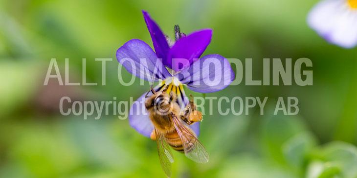 Biväxter - Styvmorsviol (Viola tricolor)