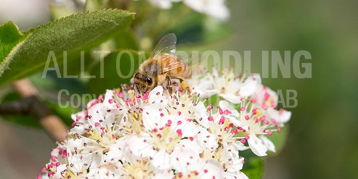 Biväxter - Svart aronia (A. melanocarpa)