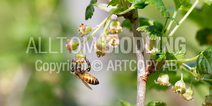 Biväxter - Svarta vinbär (Ribes nigrum)