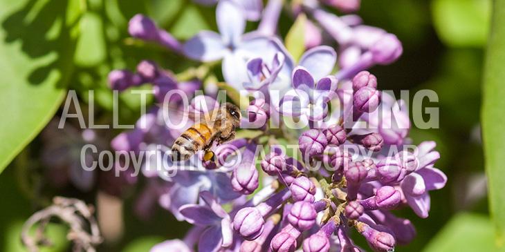Biväxter - Syren / bondsyren (Syringa vulgaris)
