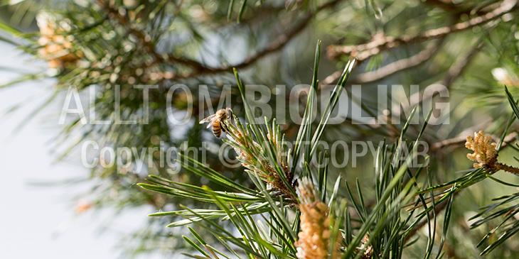 Biväxter - Tall (Pinus sylvestris)