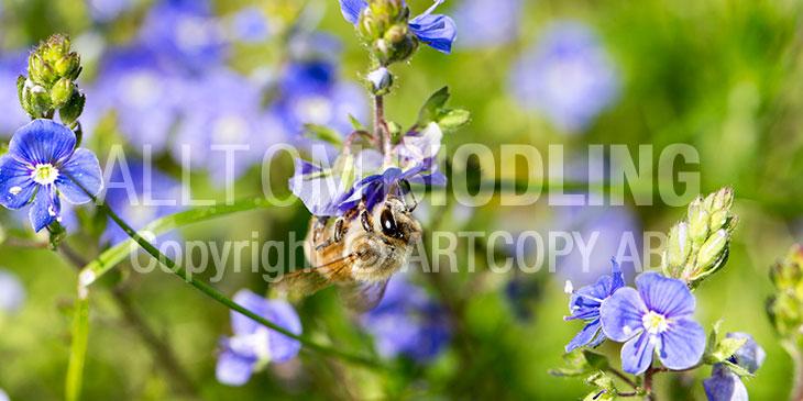 Biväxter - Teveronika (Veronica chamaedrys)