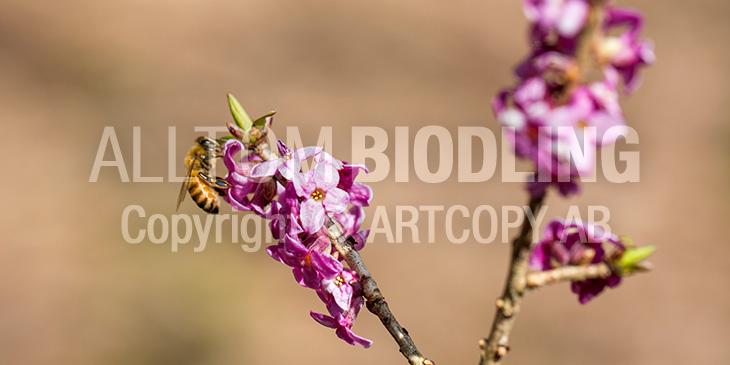 Biväxter - Tibast (Daphne mezereum)