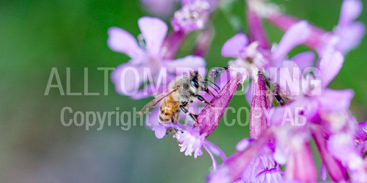 Biväxter - Tjärblomster (Lychnis viscaria)