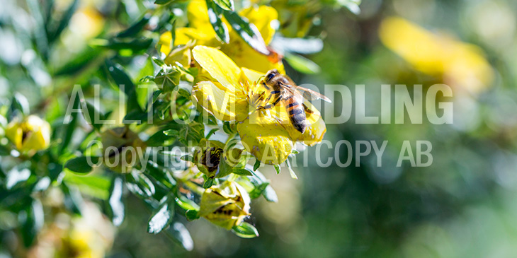 Biväxter - Tok / Ölandstok (Potentilla fruticosa)