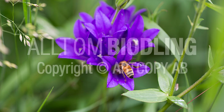 Biväxter - Toppklocka (Campanula glomerata)