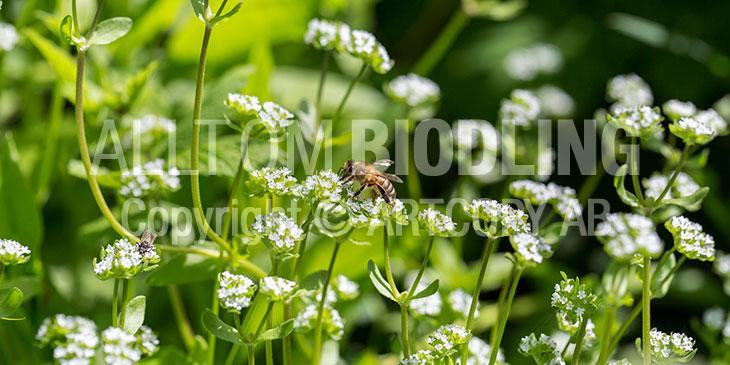 Biväxter - Vårklynne (Valerianella locusta)