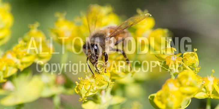 Biväxter - Vargtörel (Euphorbia esula)