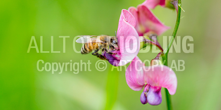 Biväxter - Vialer / Vialsläktet (Lathyrus spp.)