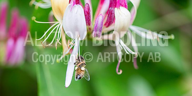 Biväxter - Vildkaprifol (Lonicera periclymenum)