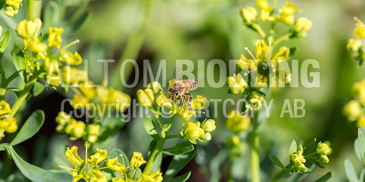 Biväxter - Vinruta (Ruta graveolens)