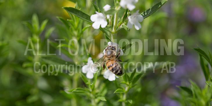 Biväxter - Vinterkyndel (Satureja montana)