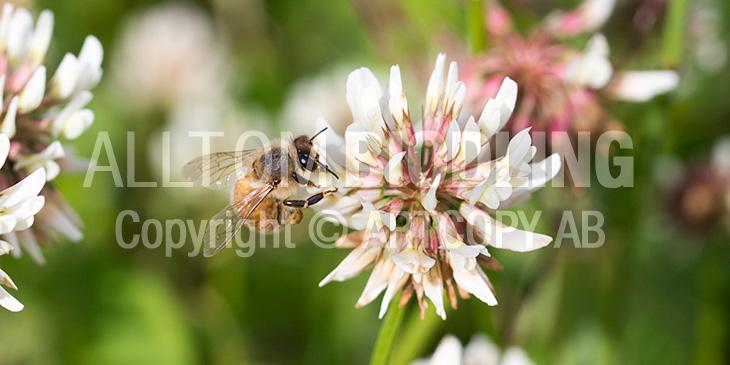 Biväxter - Vitklöver (Trifolium repens)