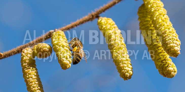 Biväxter - Hassel (Corylus avellana)