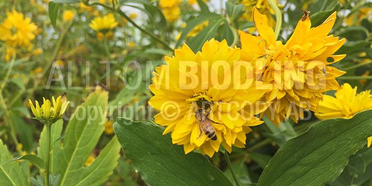 Biväxter - Höstrudbeckia (Rudbeckia laciniata) Höstrudbeckia, Guldboll eller Dassblomma