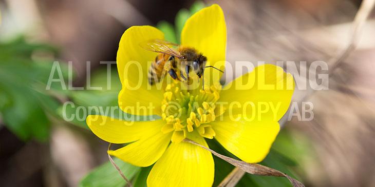 Biväxter - Vintergäck (Eranthis hyemalis)