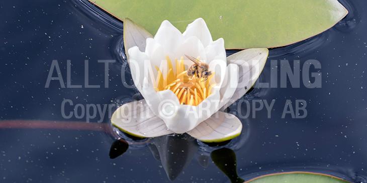 Biväxter - Vit näckros (Nymphaea alba)