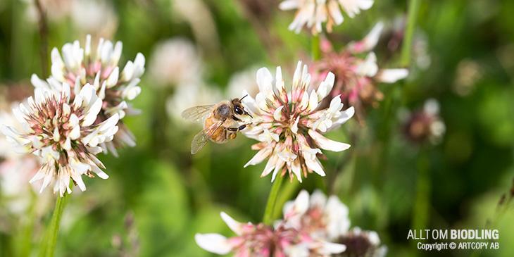 Bin är blomtrogna (honungsbin)