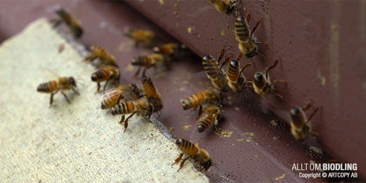 Fläktbin / Fläktbi - Fläktande honungsbi