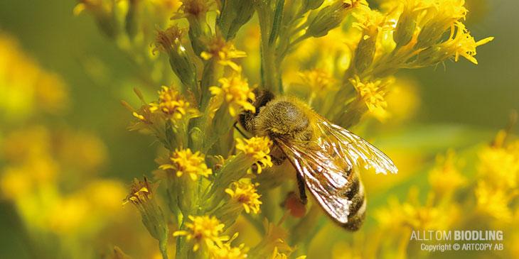 Ett honungsbi bökar i gullriset.