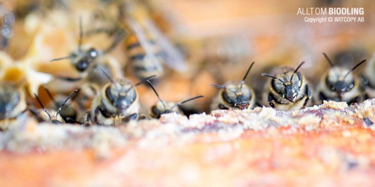 Honungsbin - Doftspråk
