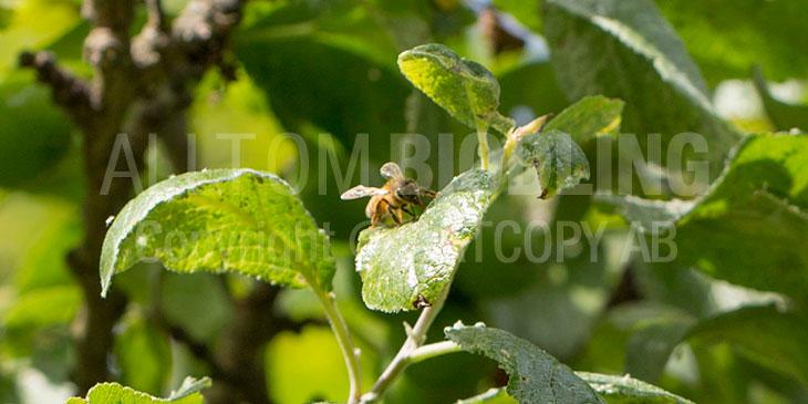 Honungsdagg - Skogshonung - Bladhonung - Lushonung - Honung