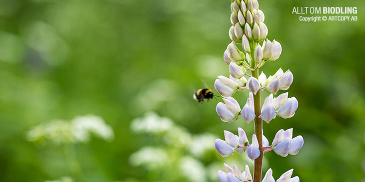 Om nu imidakloprid påverkar bina, hur påverkas då vilda insekter som humlor, fjärilar, skalbaggar m. fl. som använder sig av oljeväxternas nektar och pollen? Minskningen av humlor i landskapet är ju välkänd, men beror den bara på att miljöerna för humlorna med dikesrenar mm. har förändrats eller finns andra bakomliggande orsaker? Hur påverkas näringskedjans högre delar med fåglarna som lever på insekterna? KRA V-socker är dyrare än konventionellt socker men det kanske är en lönsam investering för att inte bisamhällena ska förloras.